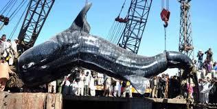film kartun ikan hiu hiu paus mati di prairan gadinaa