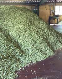 Low Trellis Hops 2016 British Hop Production Increases 8 A Photo Blog Of The Harvest