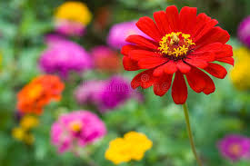 Zinnia Flowers Zinnia Flowers Royalty Free Stock Photos Image 17397388
