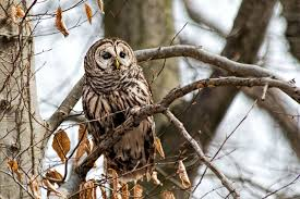 barred owls stephen l tabone nature photography