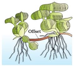 Vegetative Propagation By Roots - chapter 1 reproduction in organisms drgp biology