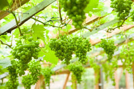 alan titchmarsh on growing grapes in your garden garden