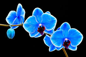 blue orchids blue sapphire phalaenopsis orchid photograph by robert