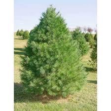 white pine trees eastern white pine tree seeds pinus strobus