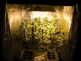 most efficient grow light how to grow dense cannabis buds grow weed easy