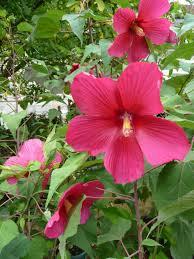 fleurs vivaces rustiques hibiscus moscheutos u2013 paris côté jardin