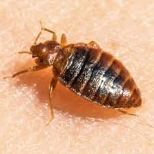 What Do A Bed Bug Look Like Blog What Do Bed Bugs Look Like