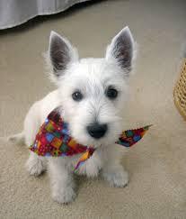 images of westie hair cuts 152 best scottie dogs iii wheatens images on pinterest scottie