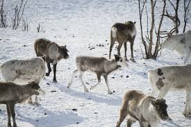 norway u0027s reindeer at risk from arctic spell the local