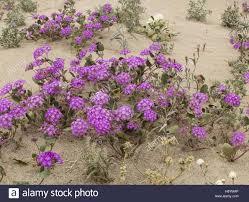 sand verbena abronia villosa in flower in anza borrego sonoran