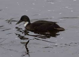 please is this a manky mallard identify this wildlife the