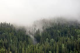 pine tree forest free image peakpx