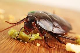Baby Roaches In Bathroom Pest Control Singapore 8 Ways To Solve Cockroaches Infestation