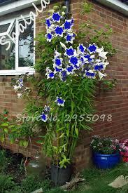 shop 50 pcs blue seeds climbing plant tree seeds