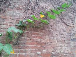 Growing Pumpkins On A Trellis Vertical Squash Trellises U2013 Otr Homegrown