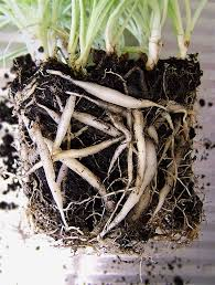 moving spider plants to larger pots u2013 when should you repot a