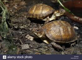 pet box turtle in vivarium terrapene carolina triunguis stock