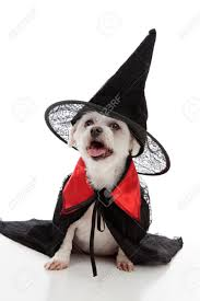 small dog witch costume halloween dog images u0026 stock pictures royalty free halloween dog