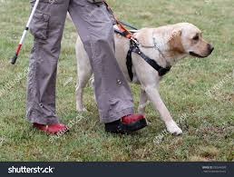 How Does A Guide Dog Help A Blind Person Blind Person Led By Her Golden Stock Photo 293244389 Shutterstock