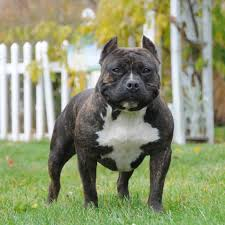 american pitbull terrier info american bully dog breed information and facts
