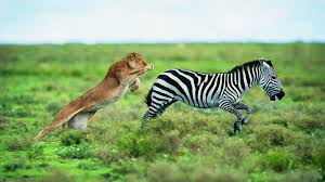what animals are predators of the zebra reference com