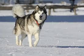 belgian shepherd x alaskan malamute alaskan malamute dog breed standards