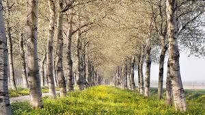 birch tree wallpaper 52 images