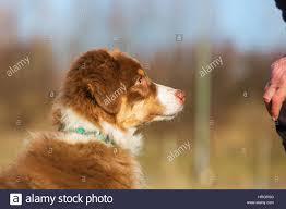 australian shepherd in apartment head portrait of an australian shepherd puppy who is sitting in