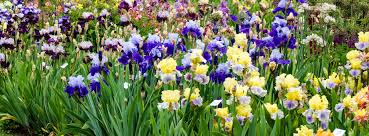 Irises How To Plant Grow by How To Library Iris Jpg