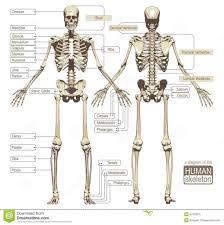 Human Anatomy Diagram Download Human Back Bones Anatomy