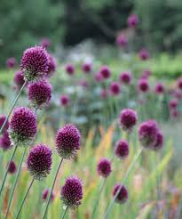 Types Of Planting Flowers - types of alliums