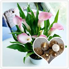 calla bulbs true pink calla bulbs calla flower not calla seed