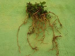 native plants of india essiac tea the truth about essiac rene caisse u0027s herbal cancer