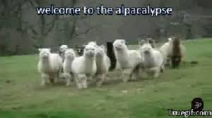 Alpaca Sheep Meme - alpaca gifs get the best gif on giphy
