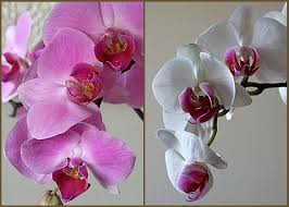Orchids Care Orchid Care For Those Who Asked Pertaining To Orchids Poisonous