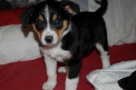 beagle x australian shepherd beagle shepherd mix laura williams