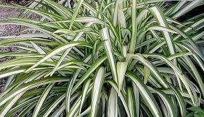 Low Light Outdoor Plants Garden Design Garden Design With Growing Spider Plants Thriftyfun