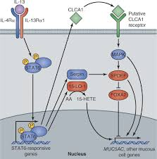 the cell biology of asthma jcb
