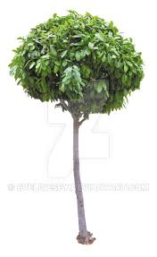 thin tree png by evelivesey on deviantart
