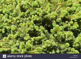 swierk pospolity picea abies var kellerman u0027s blue pinaceae