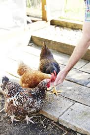 Guide To Raising Backyard Chickens by A Guide To Keeping Backyard Chickens U2013 Child