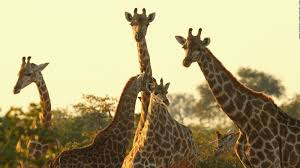 icun giraffes make u0027red list u0027 debut as numbers dramatically fall