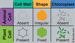 which plant cell organelle uses light energy to produce sugar a brief comparison of plant cell vs animal cell