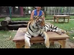pressing the stomach of a big cat