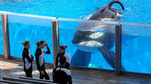 as seaworld stops breeding orcas what are the impacts for