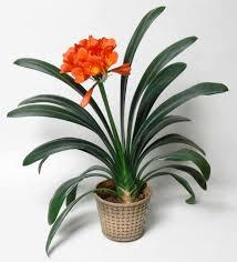 Most Fragrant Indoor Plants Top 15 Indoor Flowering Plants Livinghours