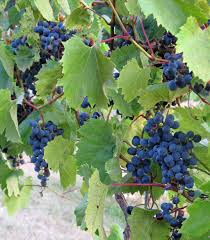 growing grapes for winemaking green county mga
