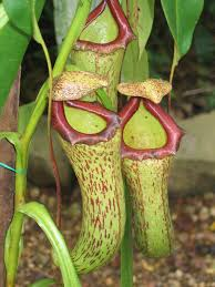 native pot plants pitcher plant care u2013 growing different types of pitcher plants