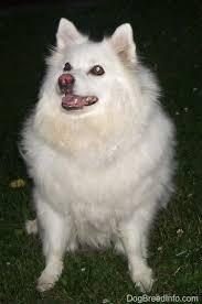 pics of american eskimo dogs american eskimo dog breed pictures 3