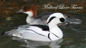 mallard farms smew